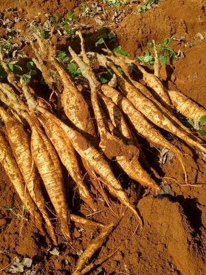 这是一张关于人工种植葛根 1.0-1.5斤的产品图片