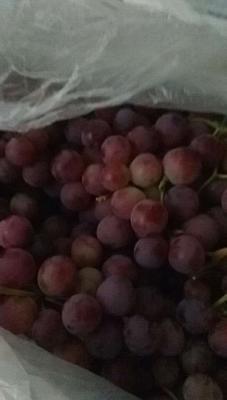 新疆维吾尔自治区五家渠市五家渠市红提 1.5- 2斤 5%以下 1次果