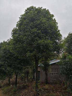广西壮族自治区桂林市永福县桂花树