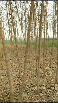 山东省菏泽市巨野县金叶复叶槭
