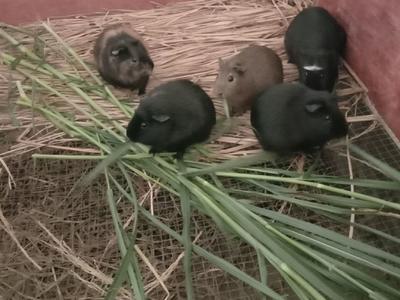 这是一张关于生态黑豚鼠的产品图片