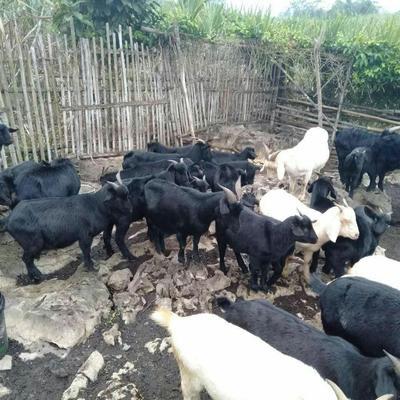 广西壮族自治区崇左市江州区黑山羊 50-80斤