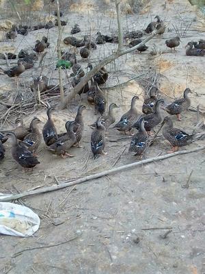 这是一张关于野水鸭苗的产品图片