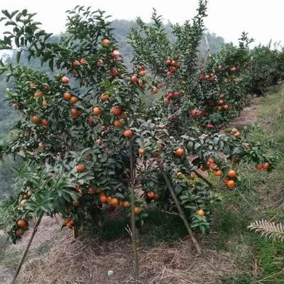 广西壮族自治区河池市宜州市沙糖桔 5 - 5.5cm 1 - 1.5两