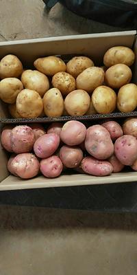 这是一张关于丽薯6号 1~2两的产品图片
