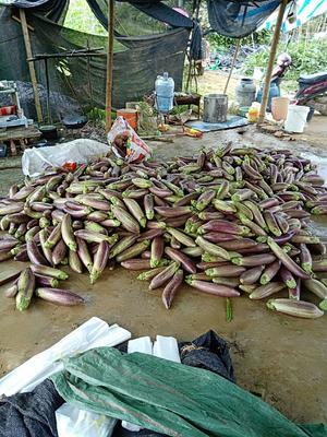 云南省西双版纳傣族自治州景洪市竹丝长茄 20~30cm 长茄