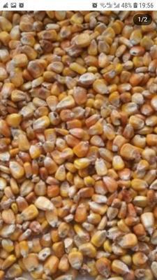 甘肃省临夏回族自治州康乐县玉米干粮 杂质很少 水份14%-16%