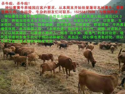 安徽省安庆市岳西县黄牛 800-1000斤 统货