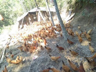 这是一张关于三黄鸡2斤以下 公的产品图片