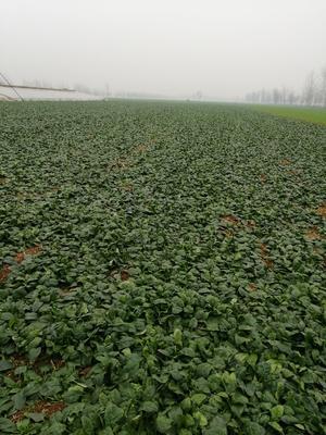 这是一张关于大叶菠菜 10~15cm的产品图片