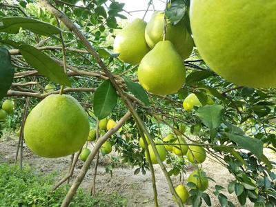 广西壮族自治区柳州市三江侗族自治县沙田柚 2斤以上