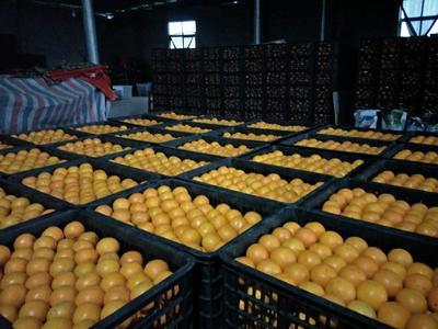 湖南省怀化市麻阳苗族自治县麻阳冰糖橙 55mm以下 4两以下