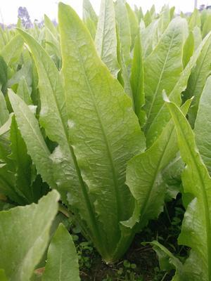 这是一张关于大叶菠菜 40cm以上的产品图片