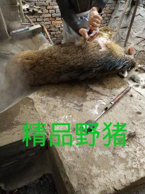 湖北省荆门市沙洋县特种野猪 统货 30-40斤