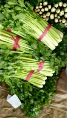 山东省聊城市东昌府区皇妃芹菜 50~55cm 0.5斤以下 大棚种植