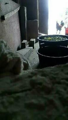 广西壮族自治区桂林市临桂县土猪 200-300斤