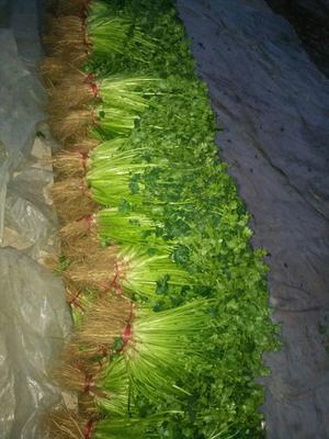 这是一张关于铁杆青香菜 25~30cm的产品图片