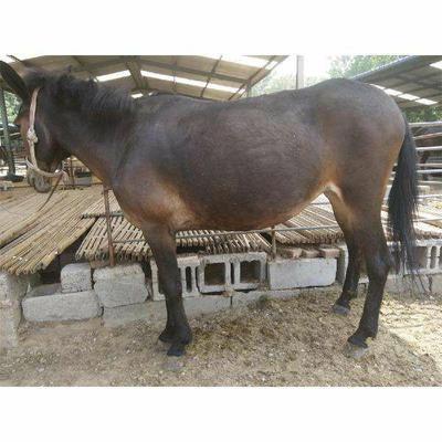 这是一张关于驴骡 400-600斤的产品图片
