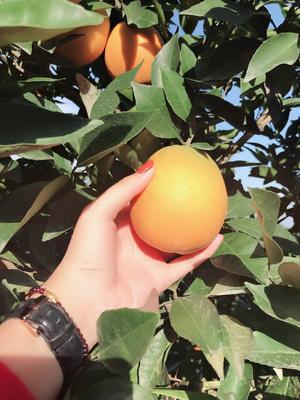 这是一张关于血橙 70-75mm 4-8两的产品图片