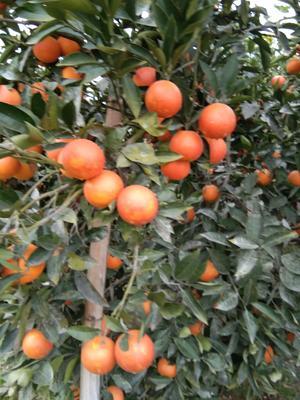 这是一张关于资中血橙 55 - 60mm 4-8两的产品图片