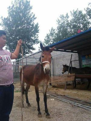 这是一张关于驴骡 200-300斤的产品图片