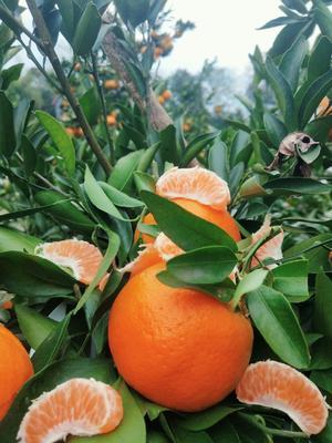 这是一张关于湘西芦柑 4.5 - 5cm 3两以上的产品图片