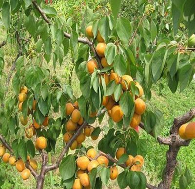 这是一张关于山杏苗的产品图片