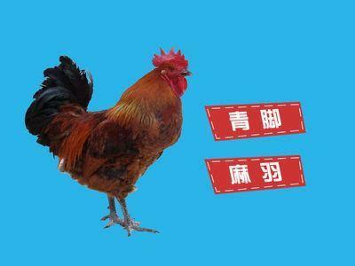 贵州省安顺市西秀区青脚麻鸡苗