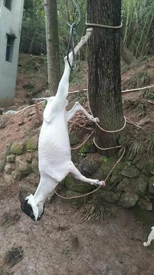 四川省南充市顺庆区山羊 50-80斤