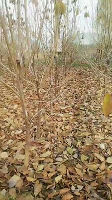 这是一张关于吉塞拉樱桃苗的产品图片