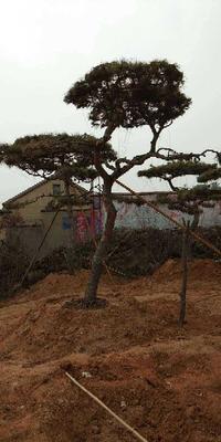 山东省莱芜市莱城区造型油松