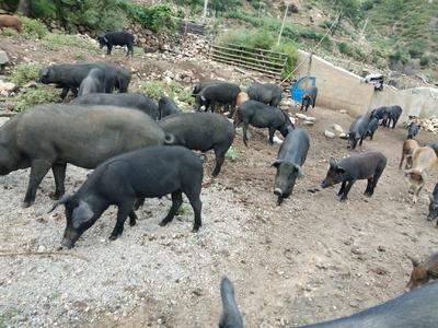 这是一张关于生态野猪 统货 160-200斤的产品图片