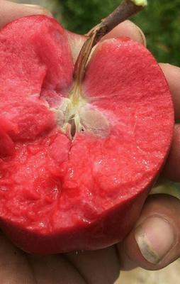 这是一张关于红肉苹果树苗 2.0~2.5米的产品图片