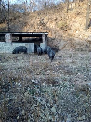 这是一张关于生态土黑毛猪 200-300斤的产品图片