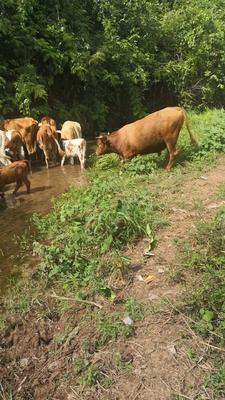 这是一张关于西门塔尔牛 600-800斤 母牛的产品图片