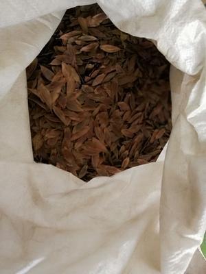 这是一张关于杜仲种子的产品图片