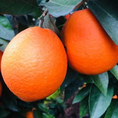 这是一张关于长虹脐橙  75 - 80mm 4-8两的产品图片