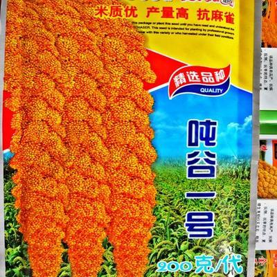 江西省九江市湖口县黄金小米 种子