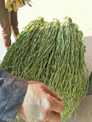 这是一张关于贡菜干 2-3个月的产品图片