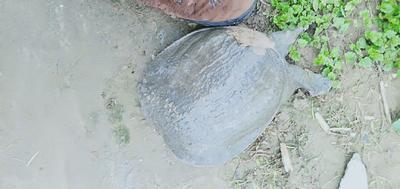 这是一张关于生态甲鱼的产品图片