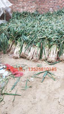 这是一张关于长白大葱 混装通货 毛葱的产品图片