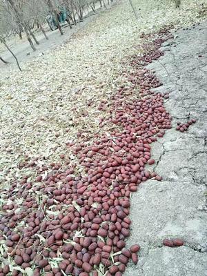 新疆维吾尔自治区喀什地区巴楚县若羌灰枣 统货