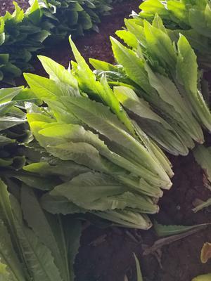 河北省邯郸市永年县美冠油麦菜 35~40cm
