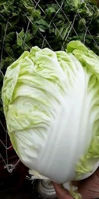 这是一张关于黄心大白菜 6~10斤 净菜的产品图片