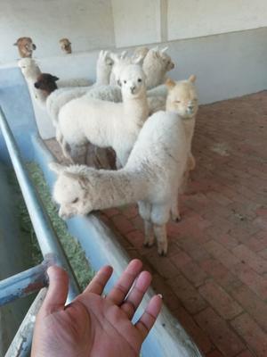 山东省济宁市汶上县澳洲羊驼