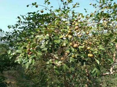 江西省抚州市广昌县大果油茶籽