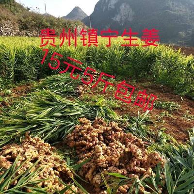 贵州省安顺市镇宁布依族苗族自治县二黄姜 2~4两 带土