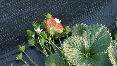这是一张关于甜宝草莓 30克以上的产品图片