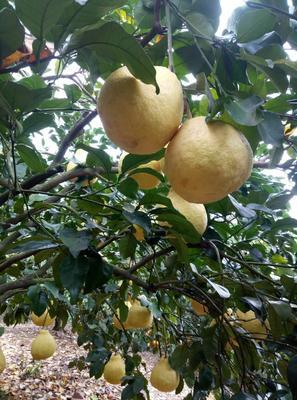 广西壮族自治区桂林市灵川县沙田柚 2.5斤以上