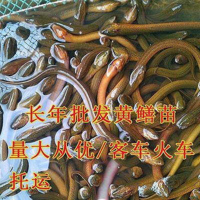 重庆巴南区正大9号黄鳝苗